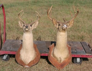 2 shoulder mout deer